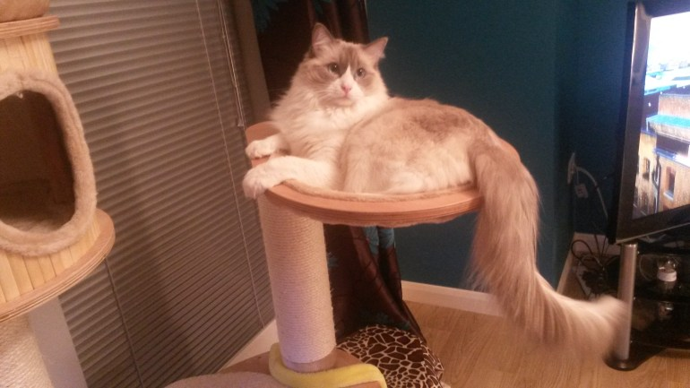 Sturdy cat trees for large cats review