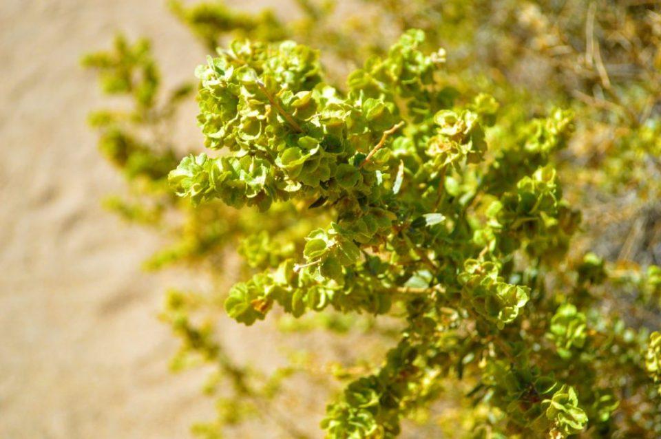 joshua-tree-shrubs