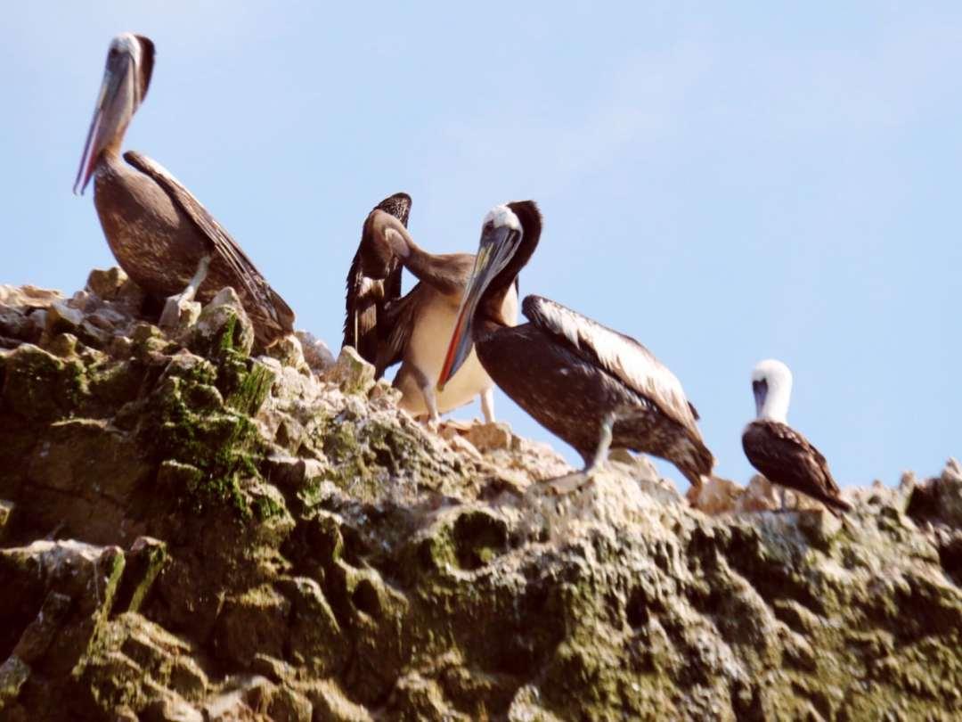 Birds on the Islas Ballestas