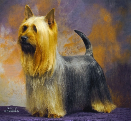 This Silky Terrier has a a natural (undocked) tail