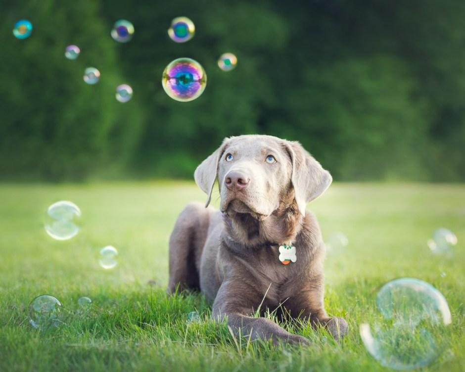 silver Labrador puppy and bubbles