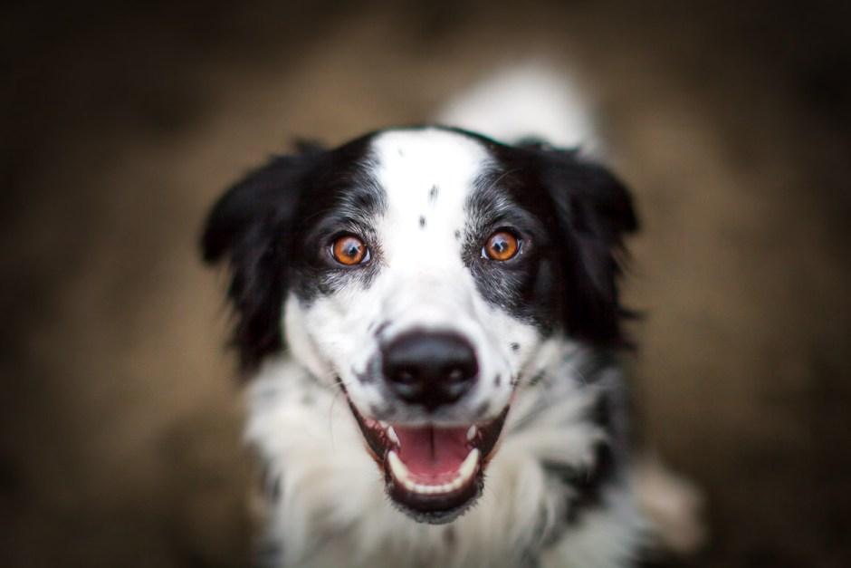 border collie portrait, dog