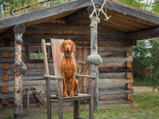 Cabin dog in Alaska