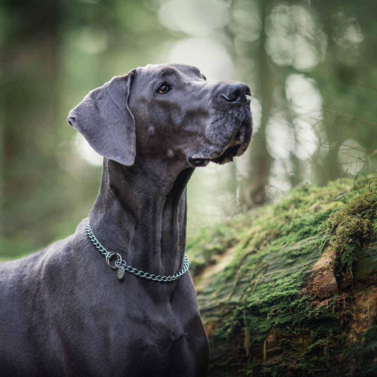 Blue Great Dane portrait