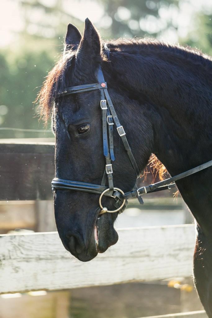profile fresian horse in morning light