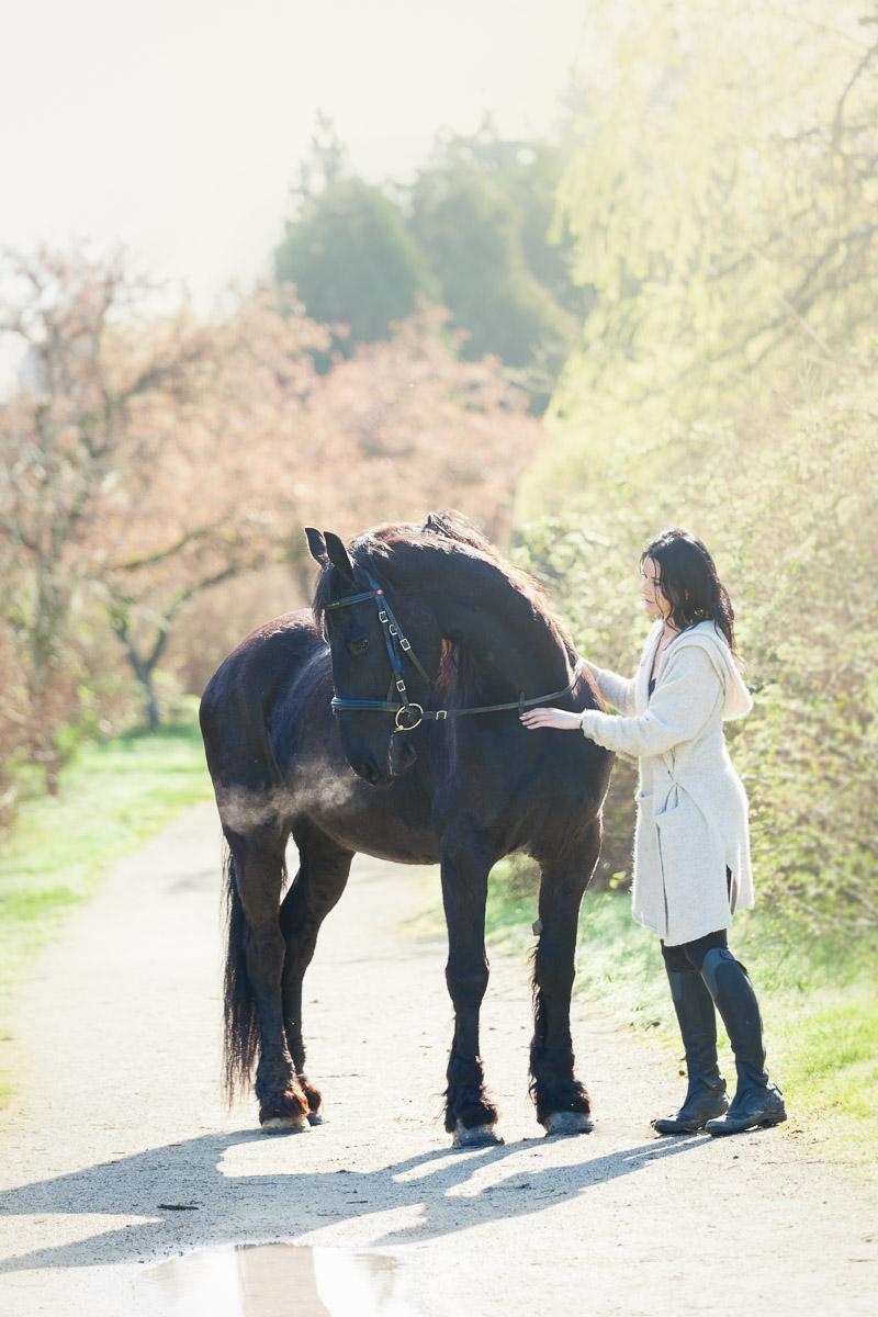 Fresian horse in morning sunlight