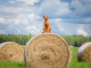 vizsla on bales of hay in northern british columbia
