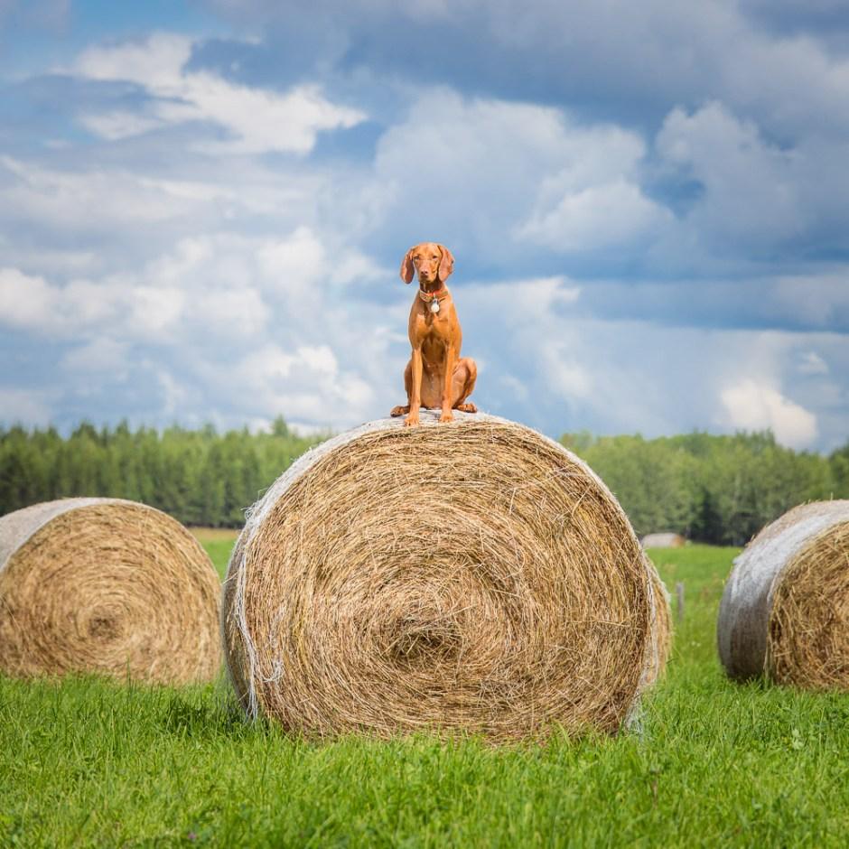 vizsla on bales of hay in northern british columbia