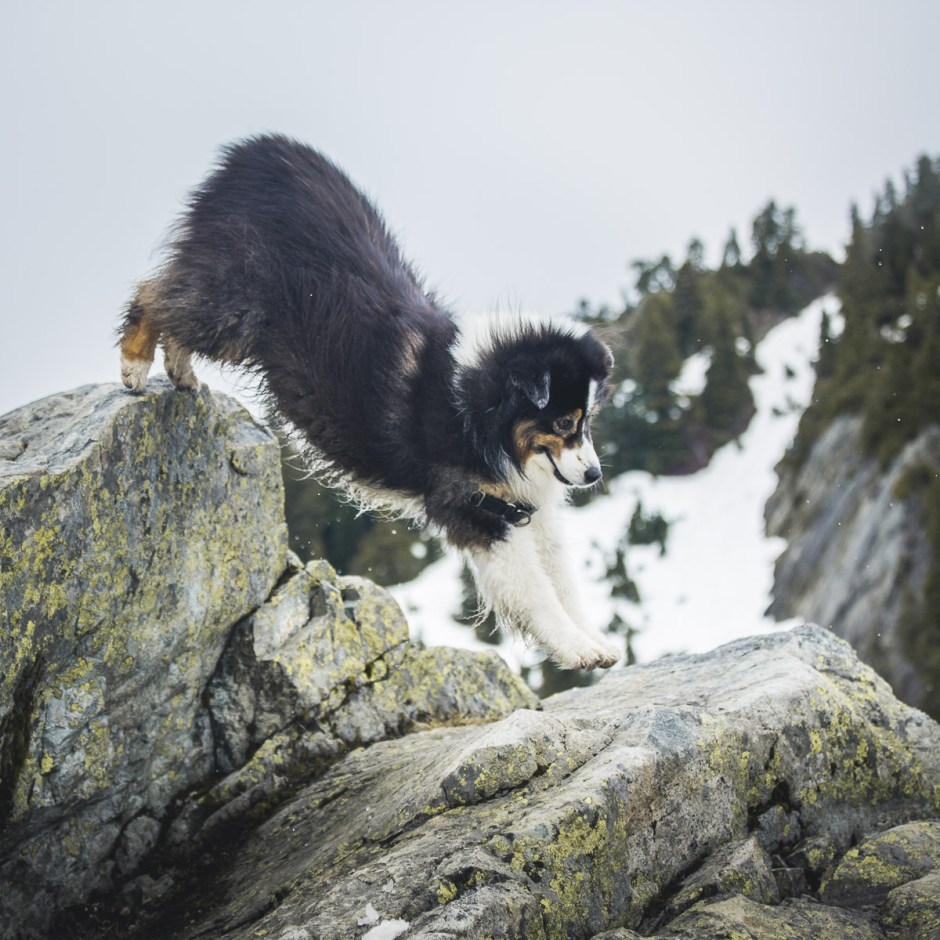 Australian Shepherd skipping among cliffs and rocks in the snow