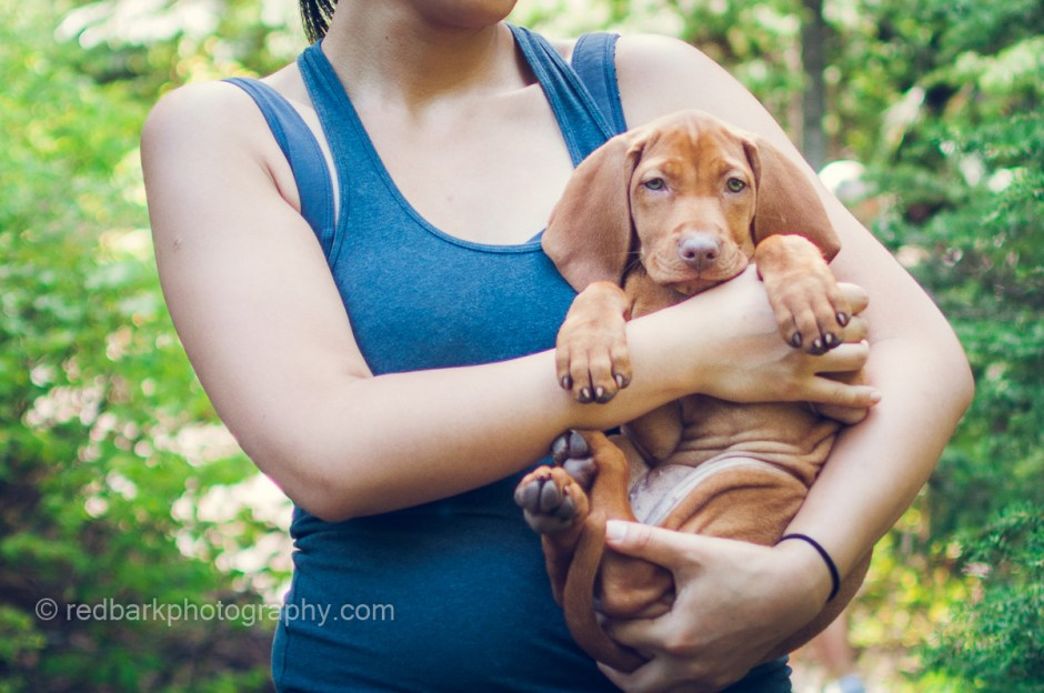 Vizsla puppy held by female with huge ears