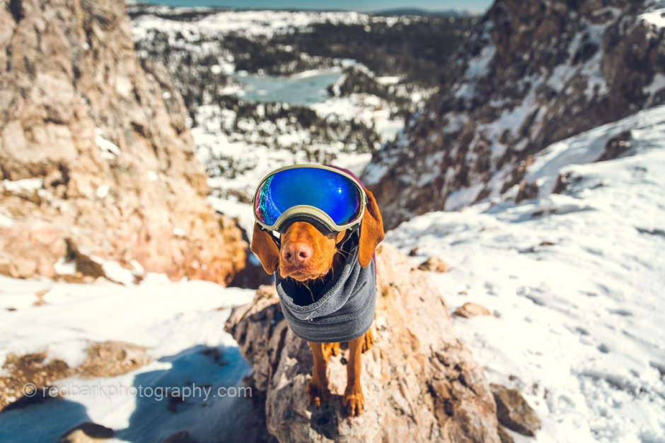 Whiskey Vizsla wearing Rex specs goggles or doggles in the snowy mountains