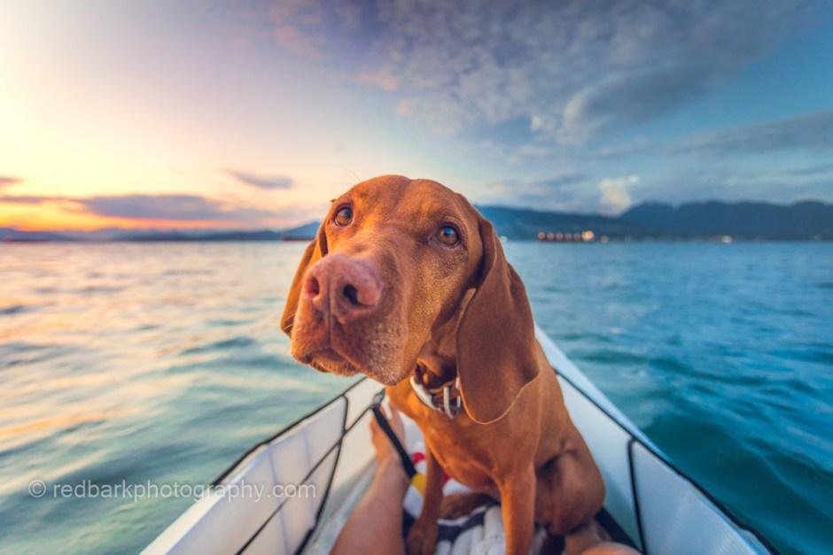 Vizsla dog on a oru kayak at sunset