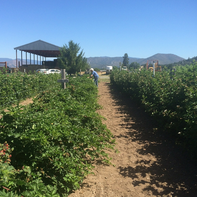 5 Reasons to Visit a Berry Patch | The Domestic Wildflower click to read this fun post about 5 reasons why you should head to the nearest U-pick berry patch, 6 ways to prepare for picking success, and why you will leave with more than just a basket of fruit by doing so.