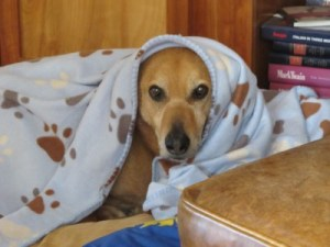 Rex, newly crowned pampered pooch, with his blanket and bed in the library.