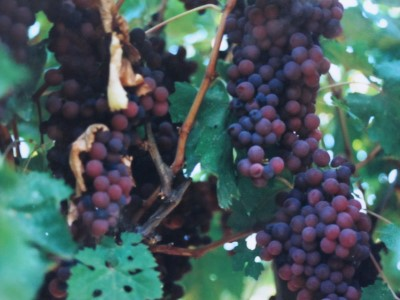 Ripe Ribier grapes in September - the jewels in the fields.