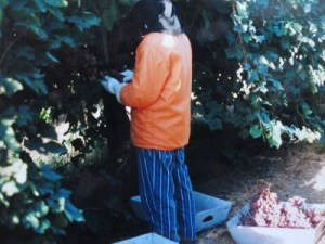 One of my aunts still picking grapes in her 60s, summer 2005.