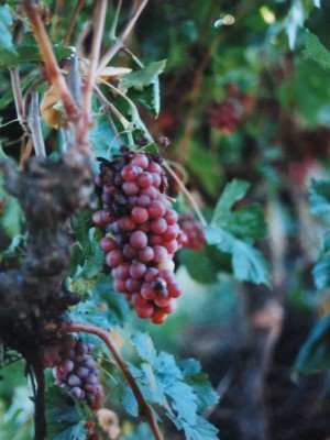 Ribier grapes from the Central Valley of California.