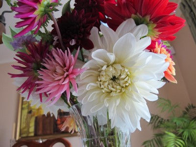 Close-up of the dinner-plate white dahlias - worth the wait.