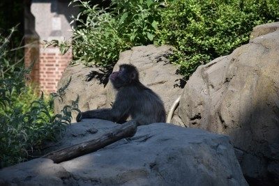 The snow monkey (photo by David).