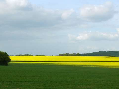 These fields of oilseed rape / canola near Avebury, Wiltshire, England, could soon be GMO if the EU deal is approved next week. Photo: *Bettina* via Flickr.
