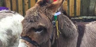 Donkeys at Jupiter Artland Christmas Fair