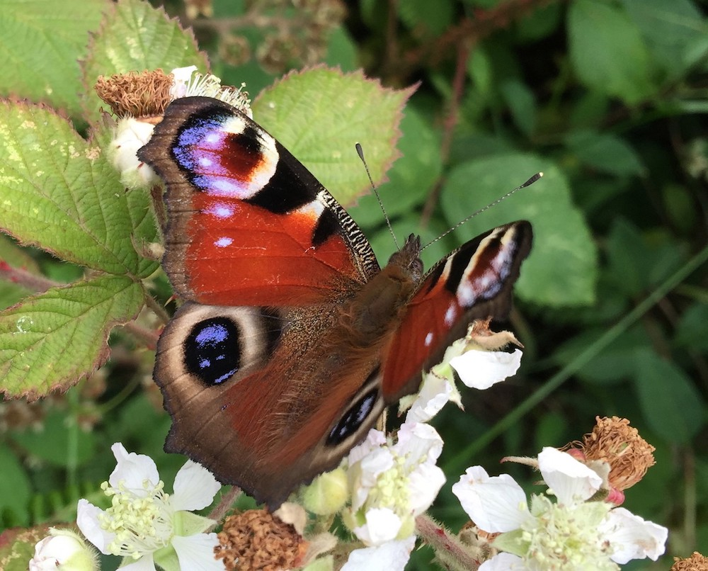 Allotments help pollinating insects