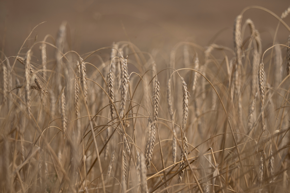 In this podcast devotional, JB Shreve looks at the aftermath of the US elections and the weird responses from many within the church who claim they speak for the purposes of God. Now is not the time to grow discouraged but it is the time to take care to avoid the path of deception and the love of this world. This is the modern reality of the wheat and the tares.