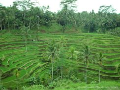 Rice fields near Ubud