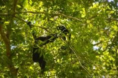 Tikal howler monkeys