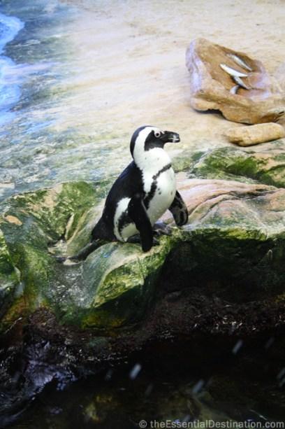 Cape Town penguin