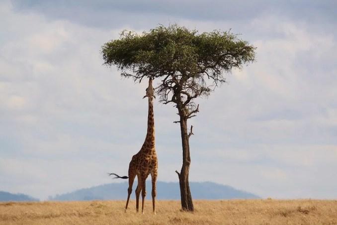 Information about Giraffe in Hindi | जिराफ की गर्दन लंबी क्यू होती है? | जिराफ के बारे में रोचक जानकारी