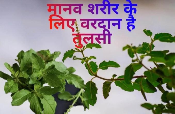मानव शरीर के लिए तुलसी है वरदान, जानिए फायदे - Amazing Health benefits of Tulsi in Hindi