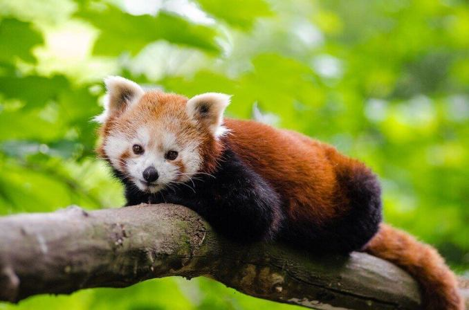 Amazing Facts about Red Panda in Hindi,लाल पांडा के बारे में रोचक तथ्य,लाल पांडा के बारे में यह बात सायद आपको नहीं पता होगी,Interesting Facts about Red Panda in Hindi