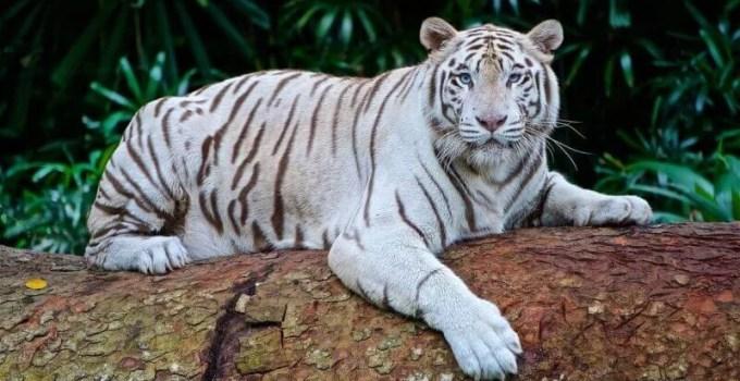 Information about Tiger in Hindi   बाघ के बारे में जानकारी और रोचक तथ्य