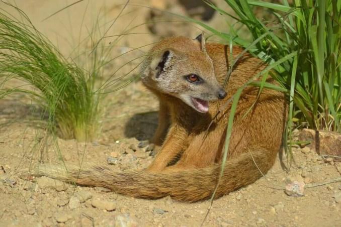 Interesting Facts about Mongoose in Hindi - नेवलों से जुड़े रोचक तथ्य और जानकारी