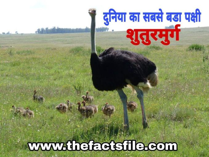 Amazing Facts about Ostrich in Hindi - शुतुरमुर्ग के बारे में मजेदार तथ्य,Amazing Facts about Ostrich in Hindi - शुतुरमुर्ग के बारे में मजेदार तथ्य