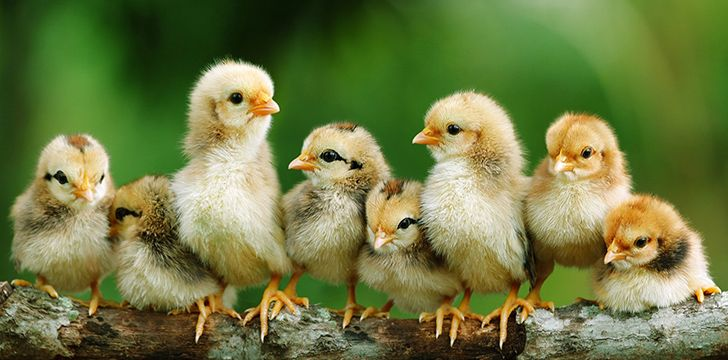 50 Facts About Chickens That Will Ruffle Your Feathers