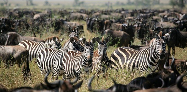 Kenya is home to a famous migration.