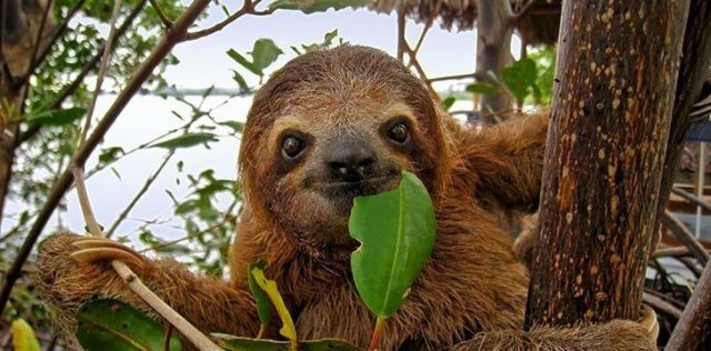 Sloth is more than just a name for these tree-dwellers.