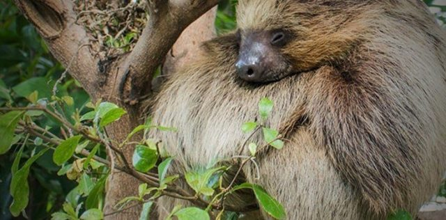 Sloths in the wild are much more active than we thought.