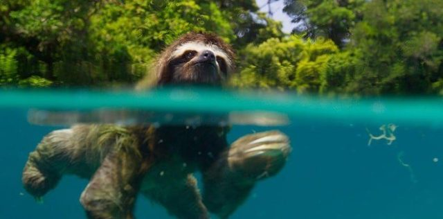 Sloths are better swimmers than you'd think.