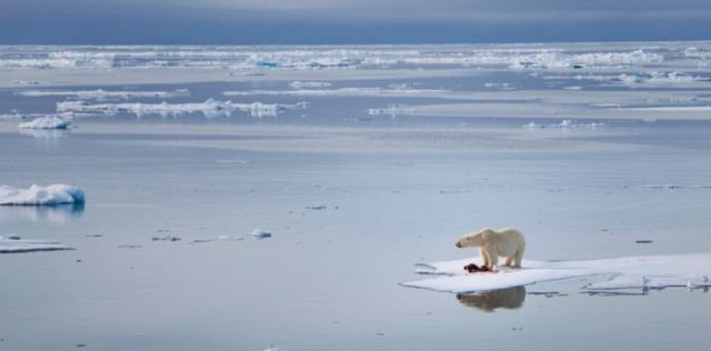 Polar bear stranded on a small floating piece of ice