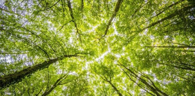 Looking up to the tree tops in a forest.