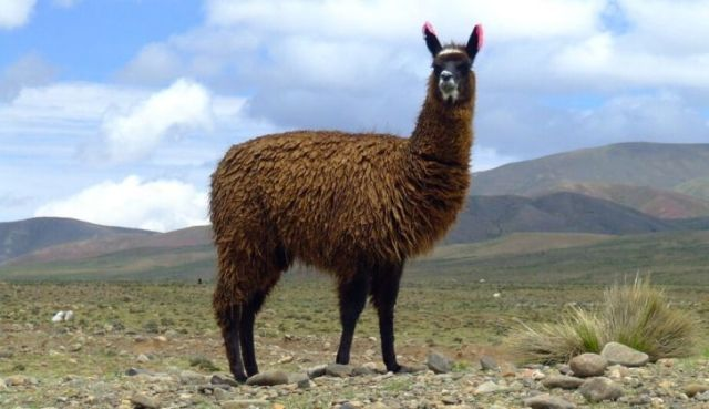 A brown llama on flat lands looking at the camera.