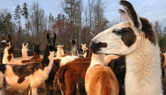 Llamas being social in a herd