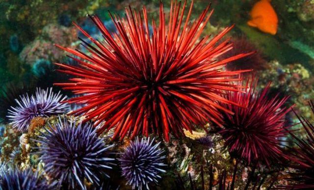 Big Red sea urchin