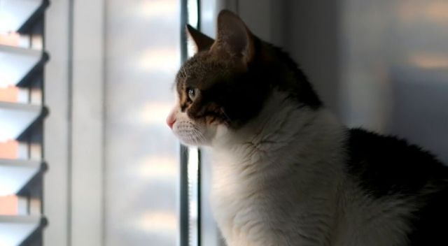 An indoor cat staring outside in the daylight through the blinds