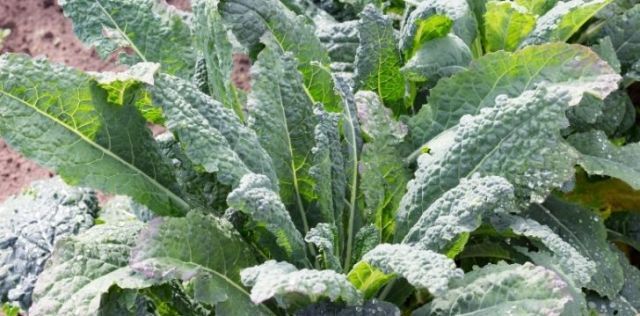 Kale growing and ready to pull