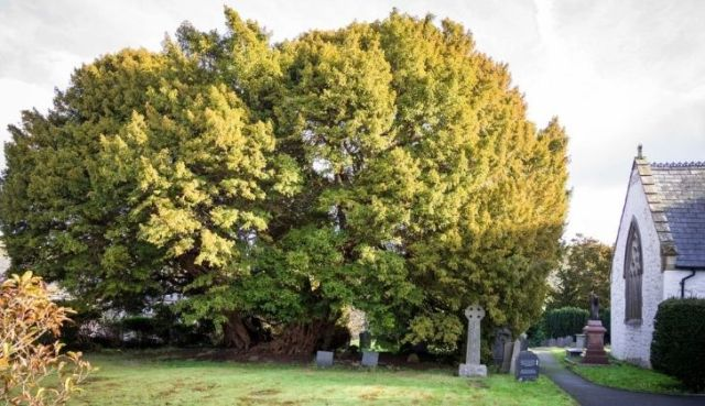 The famous large yew tree