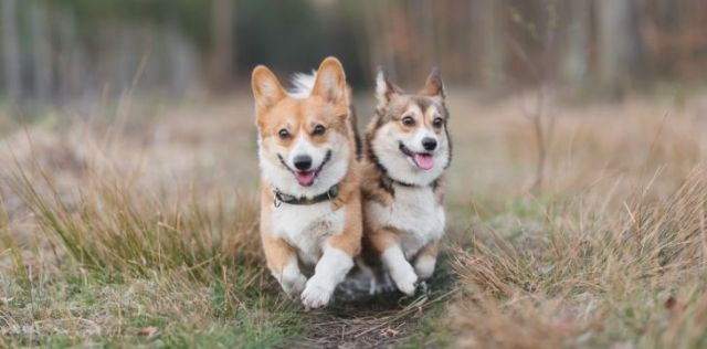 Two corgis running side by side